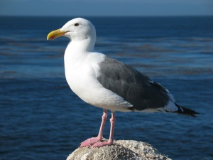 Gull_ca_usa