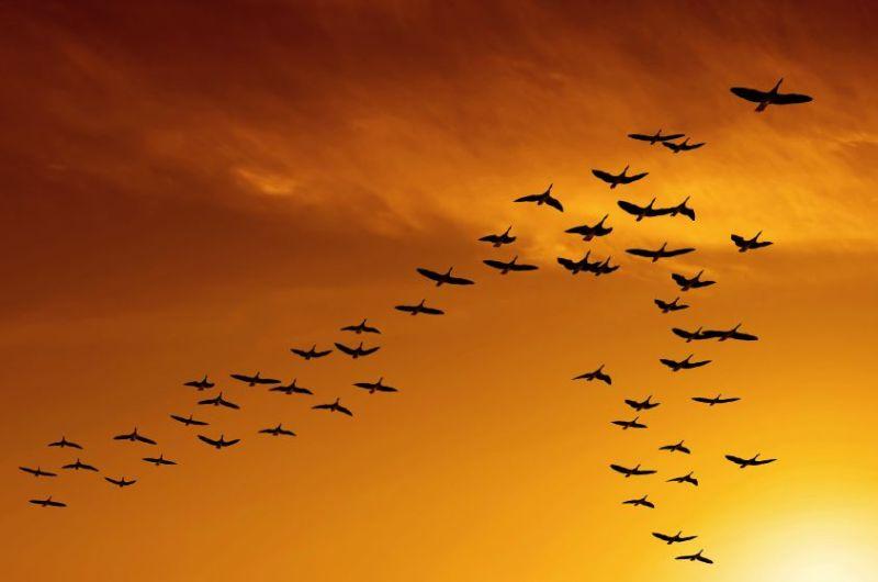 Canada_Geese_Goose_Orange_Sky_V-Formation