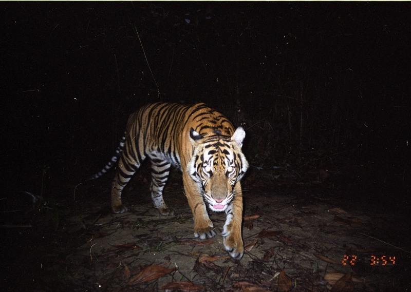 Camera trap image of a Sumatran tiger, Riau, Indonesia